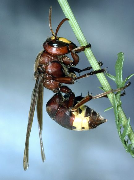 solar powered oriental wasp 29886 600x450 Oriental Hornets Can Generate Electricity from Sunlight