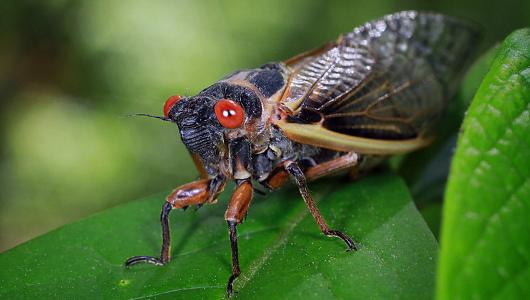 cicada530 Cicadas Wake Up from 13 Year Slumber, Prepare to Swarm